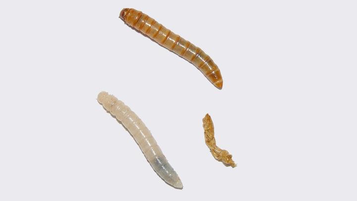 Мучные черви √ личиночная форма большого мучного хрущака (также известен как жук-мучник).
