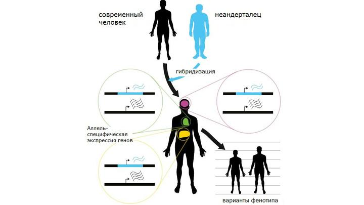"""""""Неандертальский"""" ген до сих пор влияет на рост человека, а также понижает риск развития шизофрении и системной красной волчанки."""