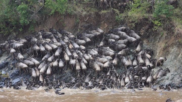 За время миграций гну приходится форсировать реку Мара по несколько раз.