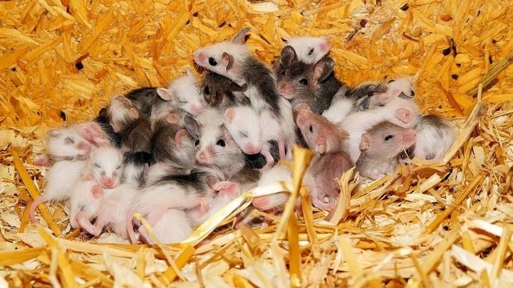 Мыши, появившиеся на свет при помощи кесарева сечения, имели менее разнообразную микробиоту кишечника и весили намного больше сородичей, родившихся естественным путём.
