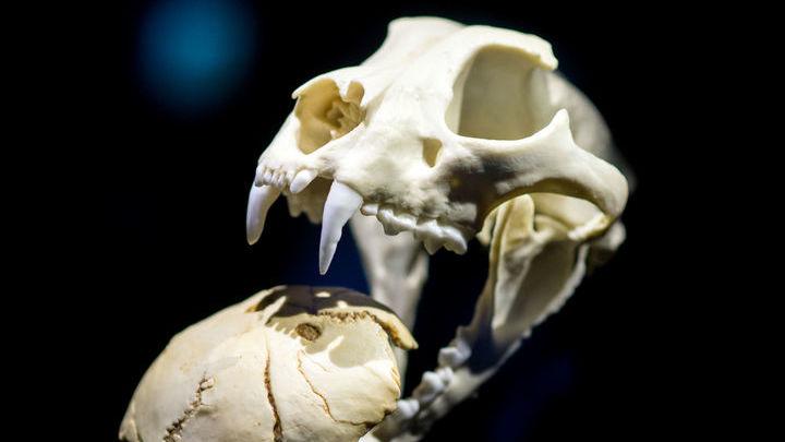 Генетические линии саблезубых кошек и современных кошачьих разошлись 20 миллионов лет назад.