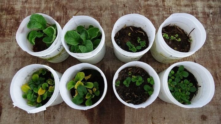 В удобренной почве с дождевыми червями зелень заметно ускорила свой рост.