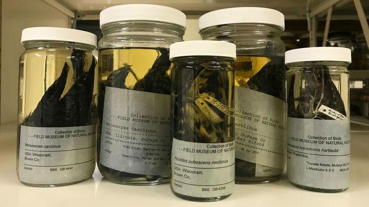 На помощь исследователям пришли музейные экспонаты Филдовского и Гарвардского музеев.