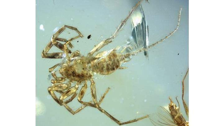 Четыре хвостатых паука застыли в янтарной ловушке в середине мелового периода.