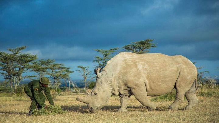 Носорога усыпили из-за возникших возрастных проблем.