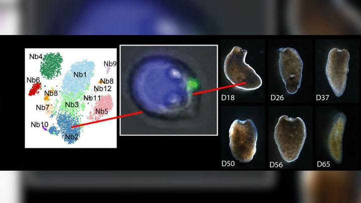 Слева: стволовые клетки планарии, сгруппированные по общим экспрессирующимся генам. В центре: клетка типа Nb2. Белок TSPAN-1 на мембране выделен зелёным. Справа: облучённая планария спустя разное время после пересадки единственной клетки типа Nb2.