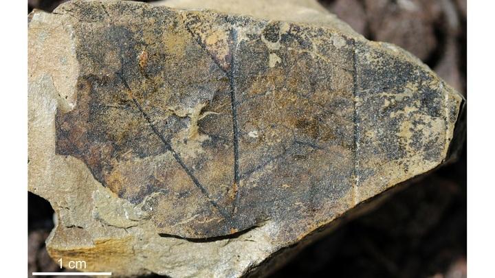 Фрагмент окаменелого листа древнего дерева-гиганта.
