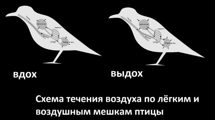 В состоянии покоя дыхание птицы осуществляется путём расширения и сжатия грудной клетки.