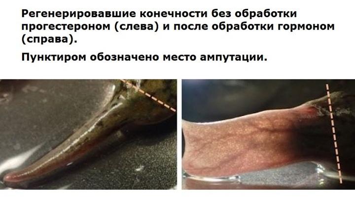При потере конечности у взрослой лягушки отрастает тонкий хрящевой отросток (слева). Однако обработка гидрогелем с прогестероном привела к образованию более развитой структуры с кровеносными сосудами и нервными клетками (справа).