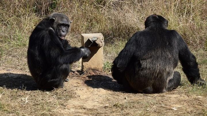Шимпанзе сидят у фонтана с соком в ожидании, что кто-то нажмёт на кнопку. Лишь один примат применил стратегию манипуляции, причём повторял приём боле ста раз.