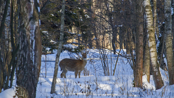 """Национальный парк """"Лосиный остров"""" усилил охрану в местах, где собираются олени"""