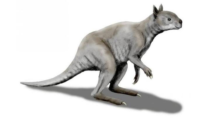 Короткомордый кенгуру в представлении художника.