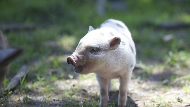 Немецкие учёные использовали инструмент CRISPR, чтобы избавить свиней от мышечной дистрофии. Они надеются, что это исследование приблизит испытаниях терапии на людях.