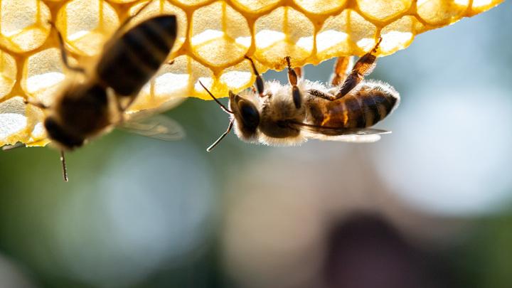 Генная инженерия впервые помогла учёным улучшить здоровье пчёл.