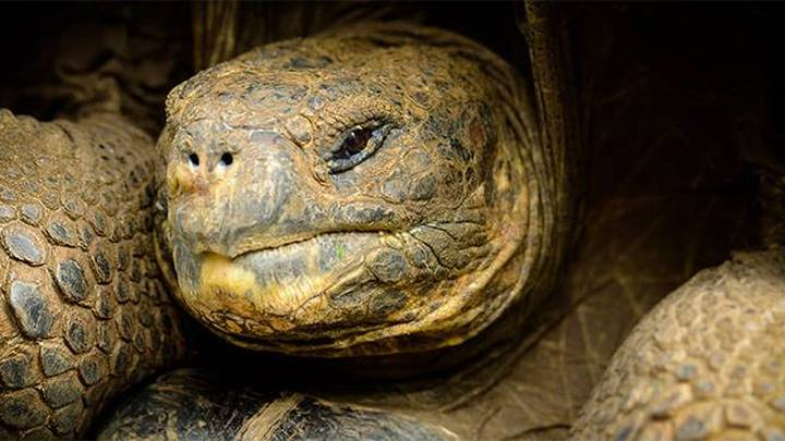 На Галапагосах нашли 30 гигантских черепах, которые помогут возродить вымершие виды