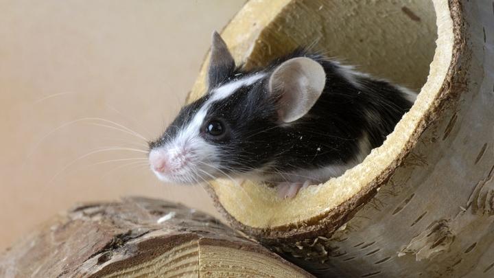 Российские генетики создали мышей без аллергии