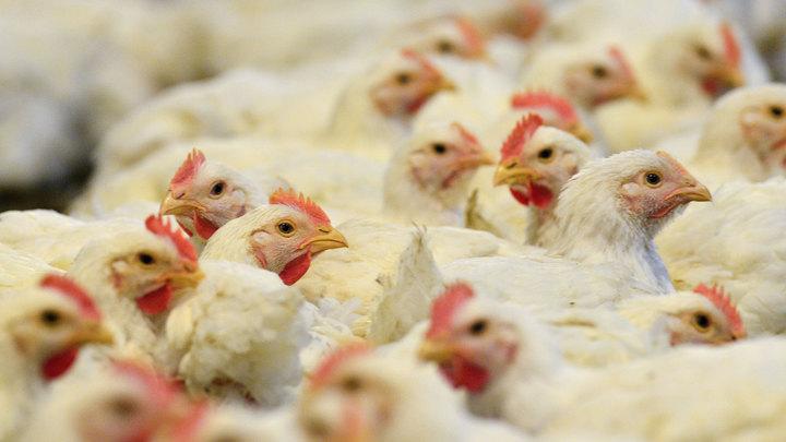 На Кубани прокуратура назвала причину массового падежа кур на птицефабрике
