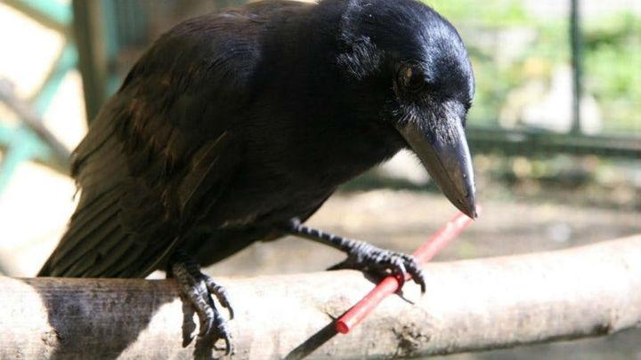 Ум и сообразительность: вороны создают инструменты из нескольких частей