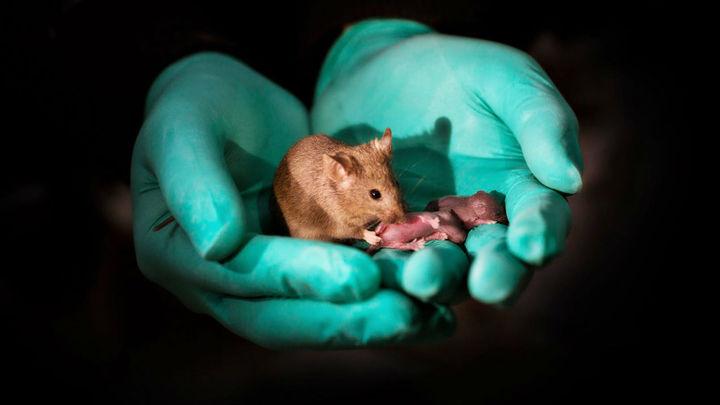 Две матери, но нет отца: стволовые клетки и редактирование генов помогли родиться необычным грызунам