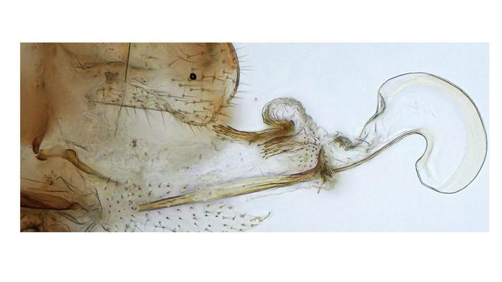 """Стало ясно, почему у некоторых самок насекомых вырастают """"пенисы"""""""