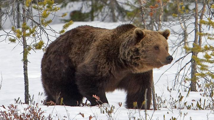 В Сочи проснулся бурый медведь
