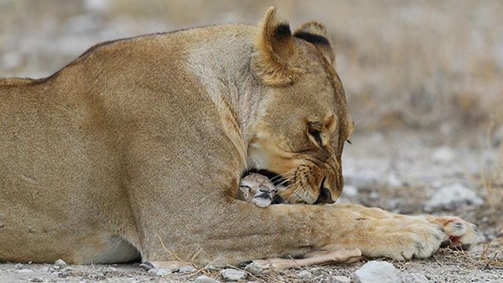 В зоопарке в Индии львица по кличке Нила стала жертвой коронавируса