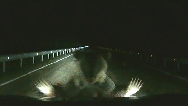 Медведица атаковала автомобиль на трассе в Хабаровском крае. Видео