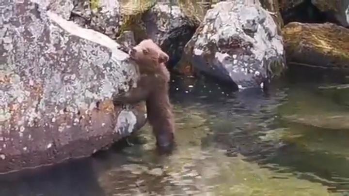 Знакомство с водой испуганного медвежонка попало на видео