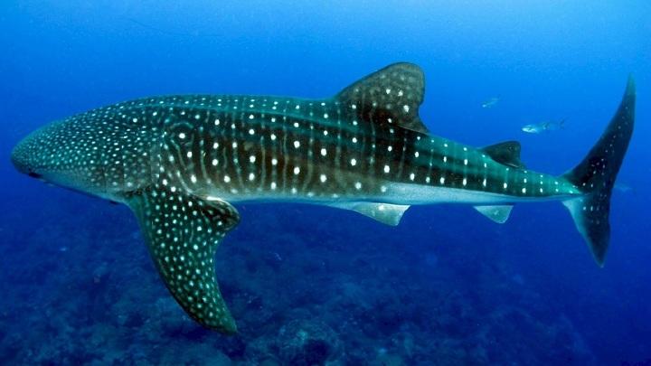 Китовая акула преподнесла учёным сюрприз.