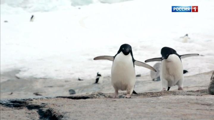Мерзлота больше не вечная: пингвины бегут из Антарктиды