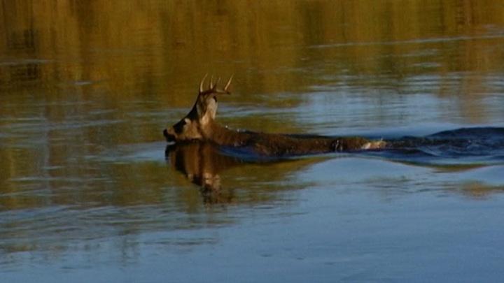Амурские охотоведы охраняют пути миграции сибирской косули