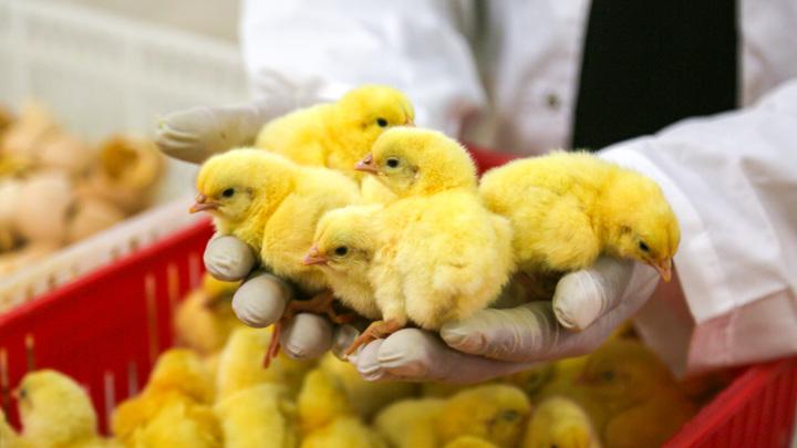 После норок в Дании будут убивать цыплят