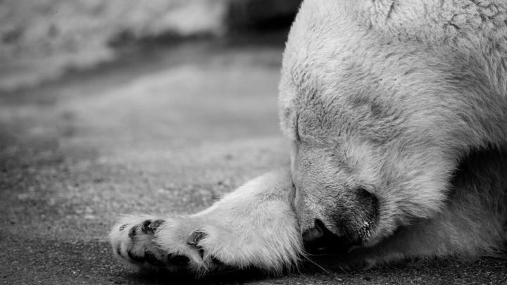 Белый медведь, которого застрелили браконьеры в Якутии, исчез