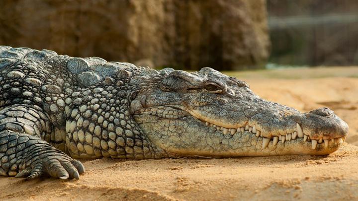 Наводнение в Ялте: крокодилов в крокодиляриуме города ловили руками