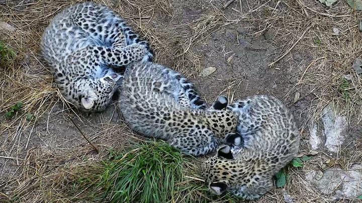 Министр природных ресурсов и экологии посмотрел на охоту леопардов в Сочи