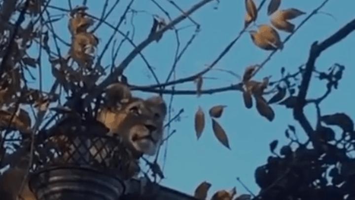 В Армавире сбежавшего львенка вернули хозяину. Видео