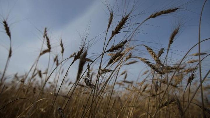 Бурятские ученые запатентовали способ повышения урожайности зерна