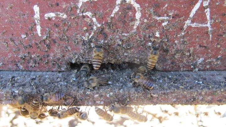 Пчёлы покрывают вход в улей навозом для защиты от грозных хищников.