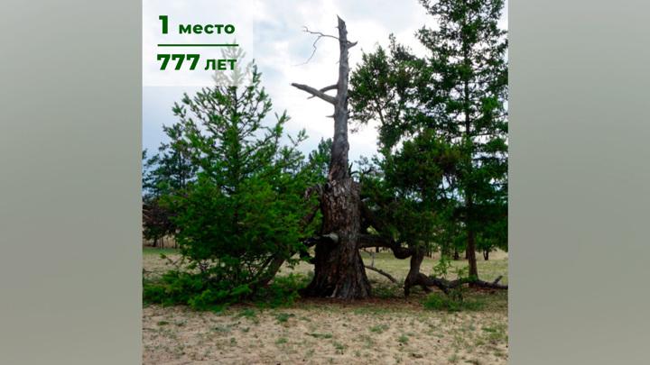777 лет: названо самое старое дерево России
