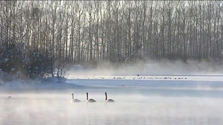 В Алтайском крае от морозов пострадало незамерзающее лебединое озеро