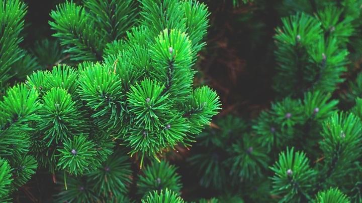Барнаульцы отдают новогодние елки на переработку