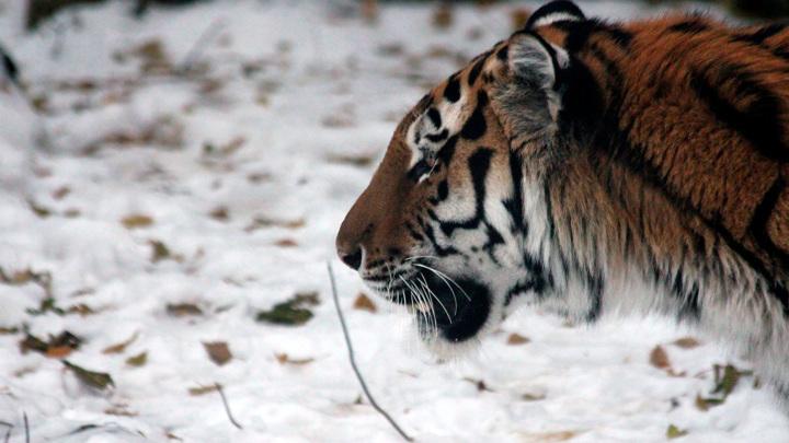 В Приморском крае разыскивают тигра-убийцу