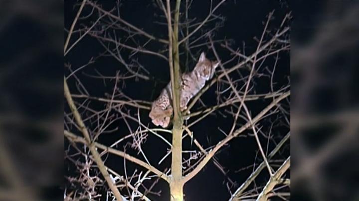 В Ленинградской области специалисты сняли с дерева рысь