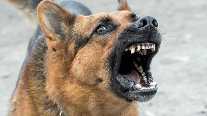 Собаки в городе: агрессивным можно сделать даже чихуахуа