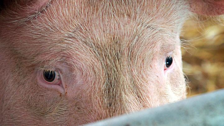 Минсельхоз и переработчики свинины оценили повышение цен
