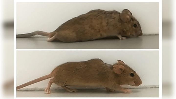 Мышь до (вверху) и после (внизу) лечения.