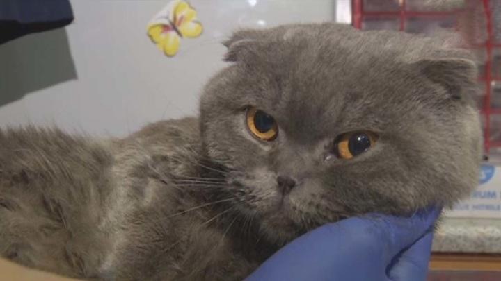 Спасенный из горящей квартиры кот Тишка умер
