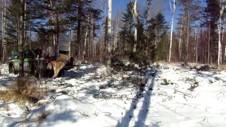 Амурскую тигрицу после реабилитации вернули в дикую природу в Приморье