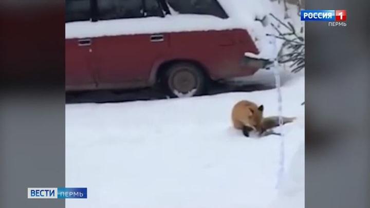 В Перми во дворе жилого дома гуляла лиса