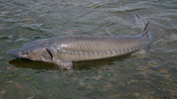 Новосибирцев будут судить за продажу краснокнижной рыбы